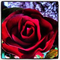 Red Rose 6 by Jessi-element