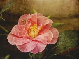 Vintage Camellia by muffet1