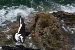 Oystercatcher by GMCollins