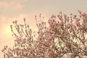 Cherry Blossoms by fatedquest