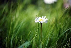 lonely daisy by littledramatique