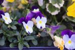 Pansies by HappyPenguinArt