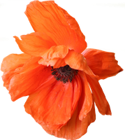 Poppy PNG 05 by Thy-Darkest-Hour