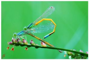Damselfly lovemaking by freudian-slips