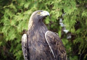 Golden Eagle by Lone---Wolf