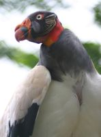 King Vulture by Parides