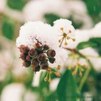 Snow Berries by EarthHart