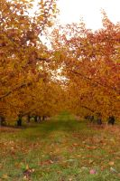 Autumn Orchard Stock 13 by SimplyBackgrounds