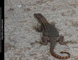 Curly Tail Lizard Stock 9 by Cassy-Blue