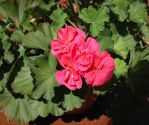 Hot Pink Geranium by Gryffgirl