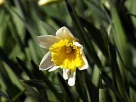 First daffodil. by k2ff