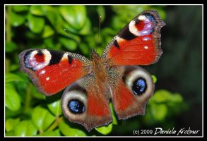 Peacock Butterfly by Digitalbaby