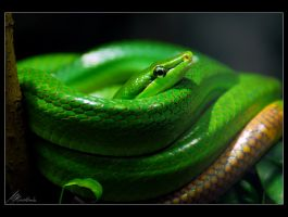 red-tailed racer by sicknonsens