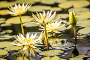 Lotus Family by 904PhotoPhactory