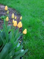 Yellow Tulips by VikingVal