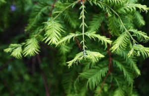 Dawn Redwood by NycterisA