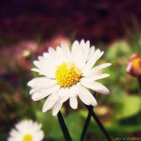 sweet daisy by JustMe255