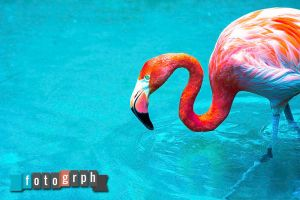 Flamingo in Water by fotogrph