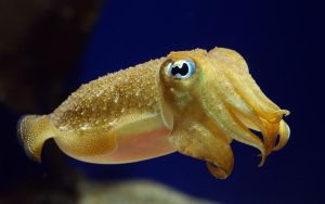 Baby Cuttlefish by mentaldstruction