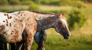 Appaloosa UT Spurs For Olena by Nightmare-v