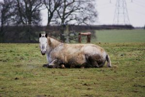Horse Lying Down by candigal