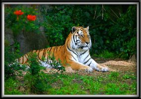 A TIGER'S PARADISE by DDYJR