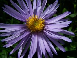Aster Alpinus by ByronGiant