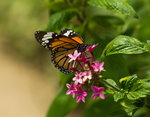 Monarch Butterfly by TimGrey