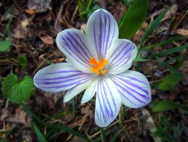 Purple Striped Crocus by WolfieMaster