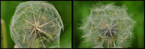 The fragility of a dandelion by Somebody-Somewhere