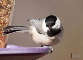 Black-Capped Chickadee 2 by EdgedFeather