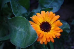Orange African Daisy by Makki-Summer