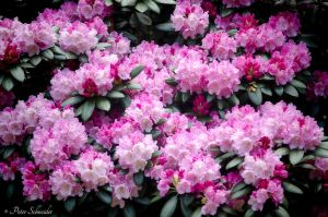 Rhododendron(IV). by Phototubby
