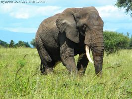 Africa - Elephant 1 by Nyaorestock