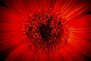 Red Daisy by designerfied