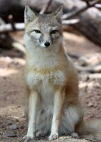 Swift Fox Stare Down by Jack-13