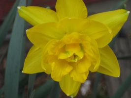 another Double Daff by crazygardener