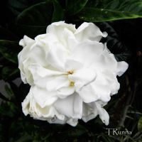 Camellia by TRunna
