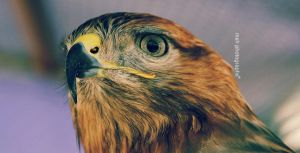 Eagle Eye by MSH-Photography