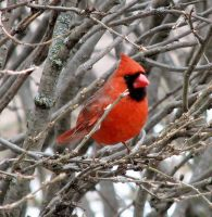 male cardinal by Nipntuck3