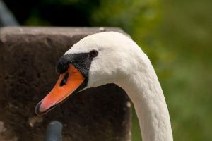 swan by Anschi71