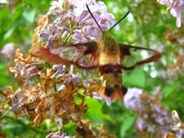 Hummingbird Moth by styrecat