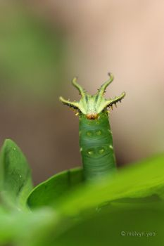 Caterpillar 7 by melvynyeo