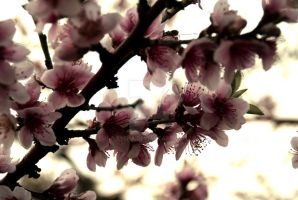 Blossoms by eyena