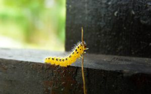 The little yellow caterpillar by Noncsi28