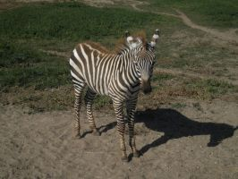 Zebra Foal 1 by EquideDesigns