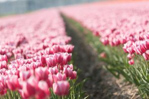 a field with lovely tulips. by by-sannee