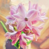 hyacinths by a-place4my-head