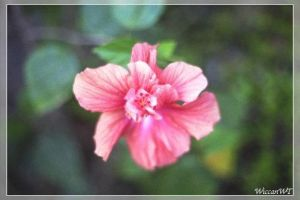 Pink Hibiscus by WiccanWT
