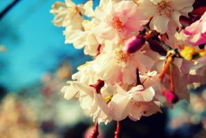 Cherry Blossoms by LittleApple00